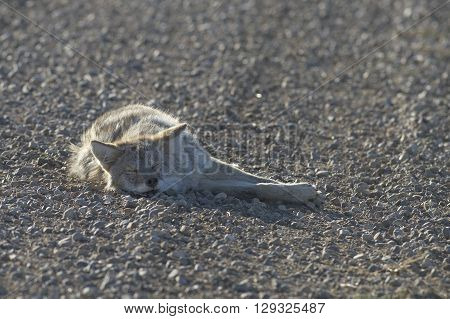 A Coyote sleeping in the middle of a gravel road