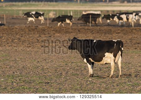 A Holstein dairy cow in a pasture
