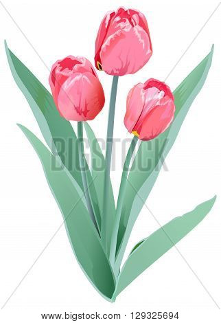 Three red tulips. Tulip flower. Isolated on white vector illustration