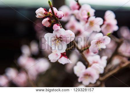 Pink Sakura Flower Blooming In Hakodate