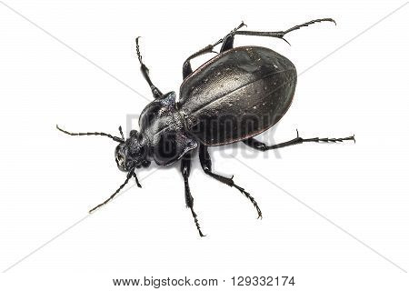 Black  bug. insulate on white  background  overhand