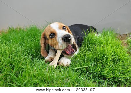 Beagle puppy bone to gnaw on the outdoor lawn.