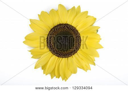 sunflower detail isolated on a white background
