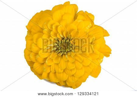 Zinia flower isolated on a white background
