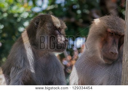 Pavian (baboon) Coople Looking To Some Interesting Object