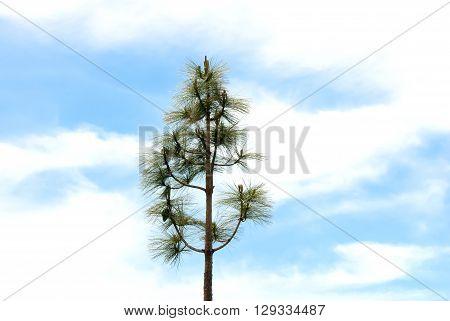 A shot of a pine under a cloudy sky