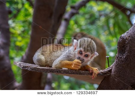 Little Squirrel Monkey Eating On The Plank In Tee In Zoo.