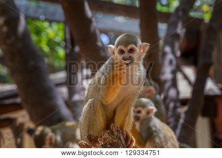 Squirrel Monkey (saimiri) Eating In Zoo.