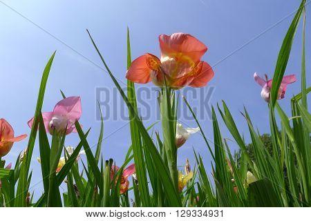 colourful mixed Hemerocallis flower in a field
