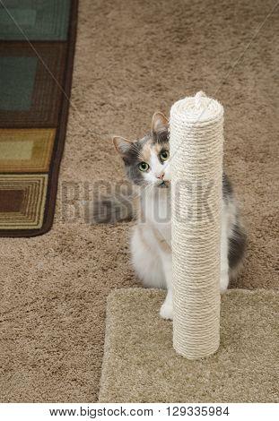 An adult domesticated cat peeking around a scratching post.