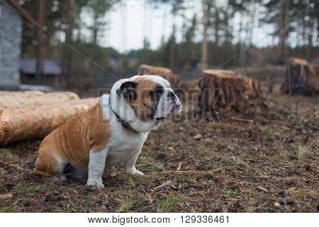Pedigree dogs Puppy English bulldog sitting on the grass