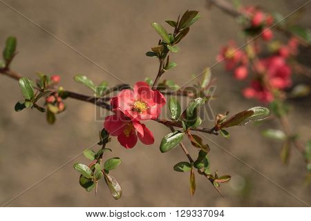 Chaenomeles speciosa, spring ,red flowers, April,in the garden,awakening