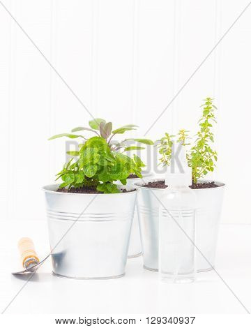 Variety of small herbs planted in metal containers.