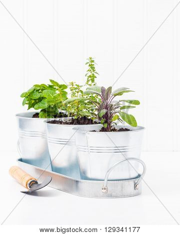 Small herbs planted in metal containers to create an indoor herb garden. ** Note: Visible grain at 100%, best at smaller sizes
