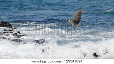 Black Crowned Night Heron In Wailalea Bay