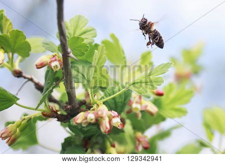 little bee flies up to the cherry blossoms for nectar