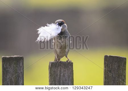 bird Sparrow sitting on the fence with a feather in its beak for nest