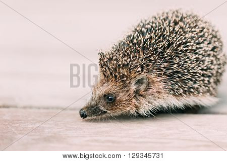 Small Cute Funny Lovely Hedgehog Standing On Wooden Floor