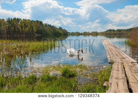 Summer landscape with a lake in the forest and the white swan