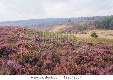 Foggy morning in the heather fields in the Veluwe National Park Netherlands.