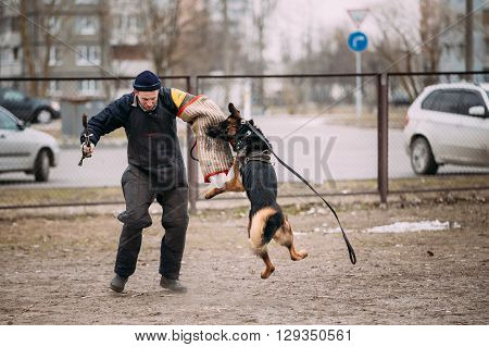 Gomel, Belarus - February 20, 2016: German shepherd dog training in Gomel Regional sports club and decorative dog-breeding. Bitting dog.