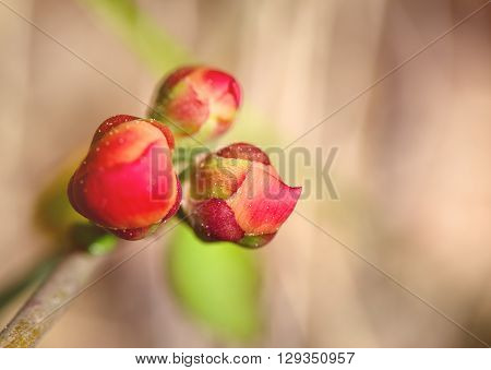 Bright pink buds of a quince close up. Macro small depth of sharpness. Buds are lit with a sunlight on an indistinct light beige background. Copyspase on the right