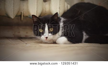 Cat of a black-and-white color on a floor
