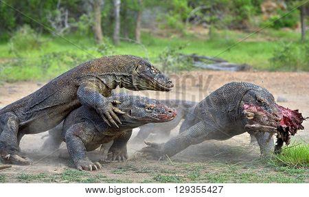 The Komodo Dragon Dragons Fight For Prey. The Komodo Dragon, Varanus Komodoensis