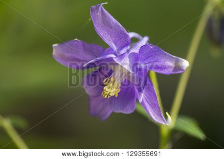 Flower of Common Columbine (Aquilegia vulgaris) flowering