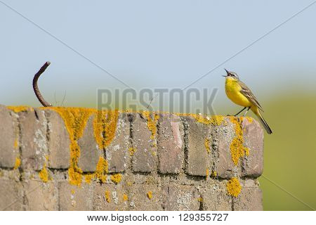 Blue-headed Wagtail (Motacilla flava) male sitting on a wall covered with Lichen whisteling