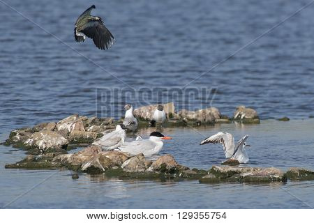 Caspian Tern (Hydroprogne caspia) sitting in water in a group of Black-headed Gull's (Chroicocephalus ridibundus)