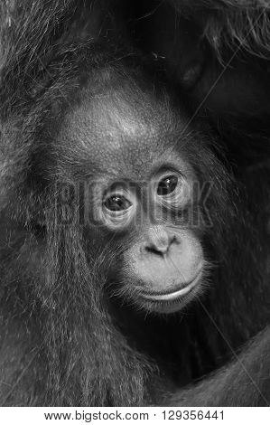 The Close Up Portrait Of Cub F Of The Orangutan  On The Dark Background