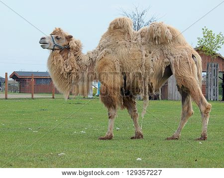 Dromedary camel.  Boryszew, Poland - May 03, 2016 Camel with two humps on its catwalk at the zoo in Boryszew.