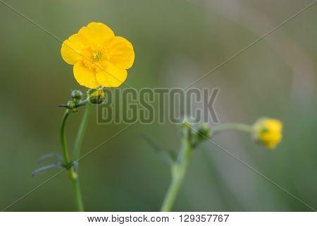 Meadow buttercup (Ranunculus acris). Golden yellow flower of abundant plant flowering in a British grassland