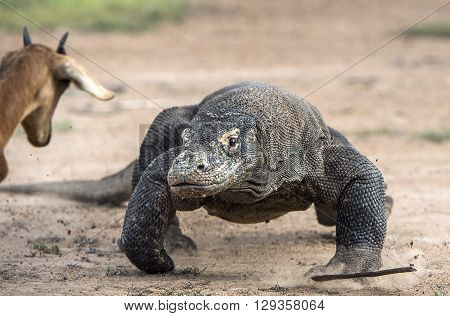 Attack Of A Komodo Dragon. The Dragon Running On Sand. The Running Komodo Dragon ( Varanus Komodoens