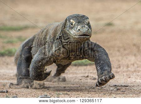 Attack Of A Komodo Dragon. The Dragon Running On Sand. The Running Komodo Dragon ( Varanus Komodoens