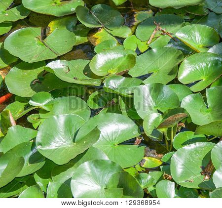 Surface of garden pond filled with large green lily pad leaves with a hint of an orange goldfish in the water.