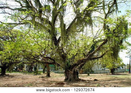 A huge tropical tree on a farm in the Philippines. Palawan Island.
