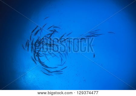 Barracuda fish silhouette in ocean