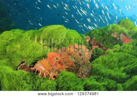 Scorpionfish on green sea algae