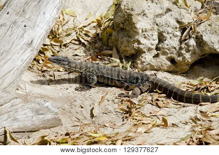 the rosenberg monitor lizard is walkig in a leafy area