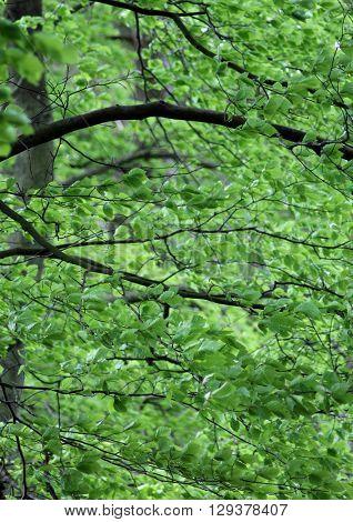 Leafy green foliage in a forest.