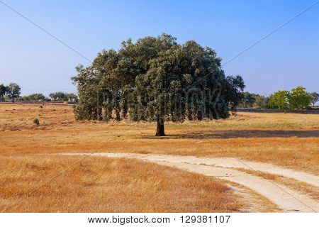 Holm Oak (Quercus Ilex) in a Summer landscape in Crato, South of Portugal. Crato, Alto Alentejo Province, Portugal.