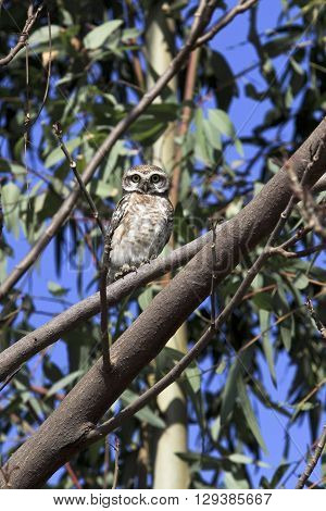 A Spotted Owlet, Latin name Athene brama sits in a Eucalyptus tree