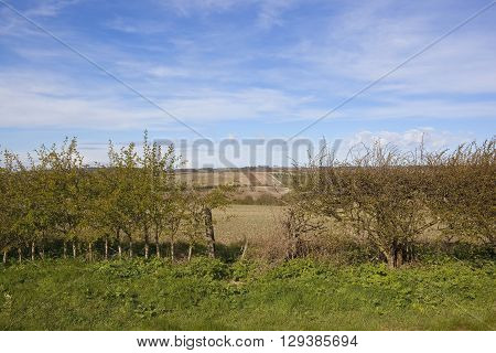 a young hawthorn hedgerow with a gap and a view of rolling agricultural farmland in the yorkshire wolds england under a blue sky