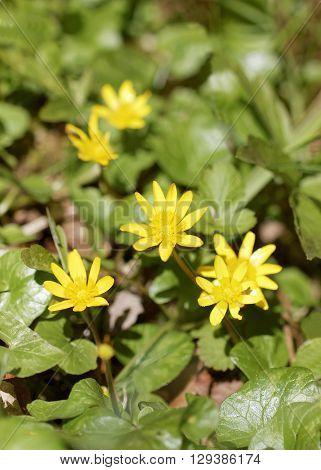 Yellow lesser celandine flowers. Latin name: Ranunculus ficaria