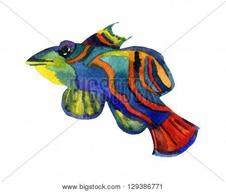Mandarin fish isolated on white background - raster watercolor illustration