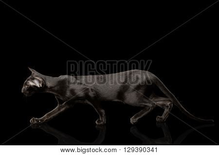 Black Oriental Cat with shined fur Graceful Crouched Black Isolated Background