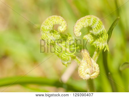 defocused image of fern fronds opening in a heart shape