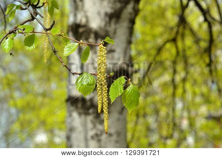 Branch of a blooming birch tree with new leaves in the spring. Selective focus